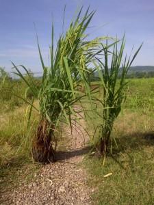 Mejoramiento de raíz en Arrroz